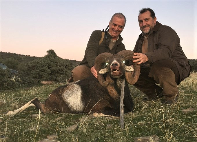 Hunting in family in Spain. Iberian mouflons
